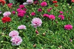 Portulaca blomma Arkivfoton