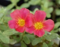 Portulaca Blumen Stockfotografie