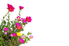 Portulaca Flower Royalty Free Stock Image