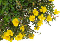 Portulaca Flower Stock Photography