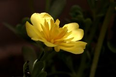 Portulaca flower Stock Photo