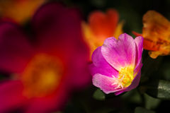Portulaca flower. Close up of Portulaca flower Royalty Free Stock Photo