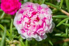 Portulaca flower in garden. Closeup pink stock images