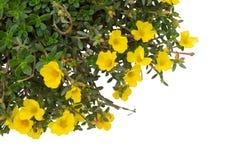 Portulaca flower Stock Photography