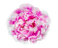 Portulaca flower isolated on white background with clipping path royalty free stock photos