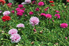 Portulaca flower. Many colour Portulaca flower green leaves Stock Photos