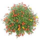 Portulaca flower Stock Image