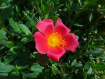 Portulaca flower. The purslane is any of a number of small, typically fleshy-leaved plants that grow in damp habitats or waste places, in particular Stock Photo