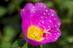 Portulaca flower with water drop. Close up of Portulaca flower with water drop Stock Image