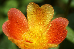 Portulaca flower with water drop. Close up of Portulaca flower with water drop Stock Images