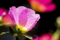 Portulaca flower with water drop. Close up of Portulaca flower with water drop Royalty Free Stock Photos