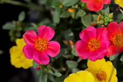 Portulaca Flowers. Close up of portulaca flowers Royalty Free Stock Image