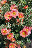 Portulaca Flowers Royalty Free Stock Photos