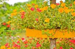 Portulaca Flowers. In the flowerpot stock photo