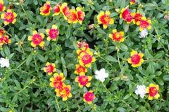 Portulaca flowers Royalty Free Stock Photo