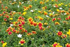 Portulaca flowers Stock Image