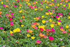 Portulaca flowers Stock Images