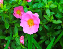 Portulaca flowers Royalty Free Stock Photo