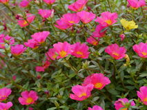 Portulaca flowers. In the garden Royalty Free Stock Photo