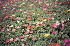 Portulaca flowers Royalty Free Stock Image