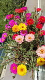 Portulaca flowers in a pot Royalty Free Stock Photo