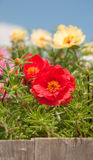 Portulaca flowers in wooden flower pot Royalty Free Stock Image