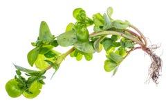 Portulaca fresh organic herbs from the garden. Studio Photo Royalty Free Stock Photography