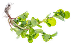 Portulaca fresh organic herbs from the garden. Studio Photo Stock Images