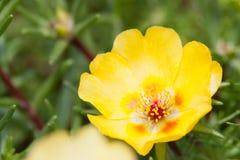 Portulaca giallo grandiflora Fotografia Stock Libera da Diritti
