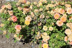 Portulaca Grandiflora foto de stock