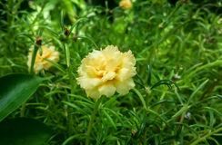 Portulaca grandiflora с природой стоковая фотография