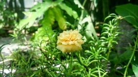 Portulaca grandiflora с природой стоковое фото