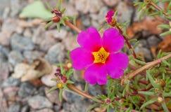 Portulaca grandiflora цветковое растение Стоковые Изображения RF