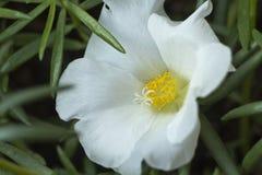 Portulaca grandiflora, часы ` 11 o, часы ` 10 o стоковое изображение