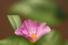 Portulaca grandiflora, часы ` 11 o, часы ` 10 o Стоковые Изображения