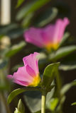 Portulaca grandiflora, часы ` 11 o, часы ` 10 o Стоковое Изображение RF