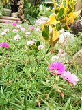 Portulaca Grandiflora Στοκ Φωτογραφία