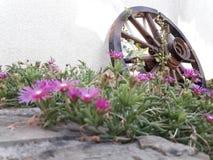 Portulaca grandiflora fotografía de archivo