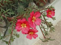 Portulaca grandiflora Royalty Free Stock Photos