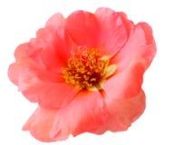 Portulaca grandiflora imagen de archivo libre de regalías
