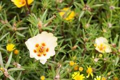Portulaca grandiflora Fotografia Stock Libera da Diritti