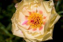 Portulaca grandiflora Immagini Stock Libere da Diritti