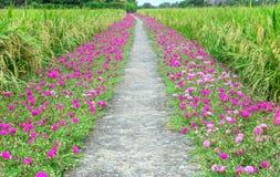 Portulaca grandiflora Fotografia Stock