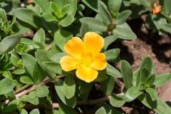 Portulaca Grandiflora Stockbild