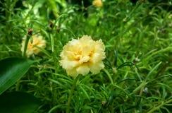 Portulaca grandiflora con la natura fotografia stock