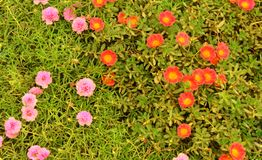 Portulaca grandiflora- eleven o`clock- ten o`clock flowers. Portulaca grandiflora- eleven o`clock- ten o`clock gardening red and purple flowers with small leaves Stock Images