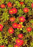 Portulaca grandiflora- eleven o`clock- ten o`clock flowers. Portulaca grandiflora- eleven o`clock- ten o`clock gardening red flowers with small leaves-background Stock Photos