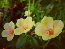 Portulaca grandiflora imagen de archivo