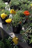 portulaca Portulaca Grandiflora Feld mit Sommer blüht Grandiflora Portulaca Gelbe Blumen, Basisrecheneinheit, Inneres mit Tropfen Stockfoto