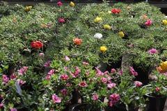 portulaca Portulaca Grandiflora Feld mit Sommer blüht Grandiflora Portulaca Gelbe Blumen, Basisrecheneinheit, Inneres mit Tropfen Stockfotografie